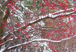 redberrytree2