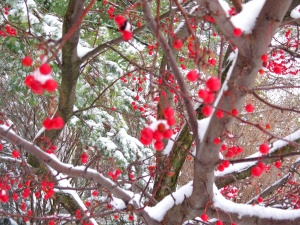 redberrytree3