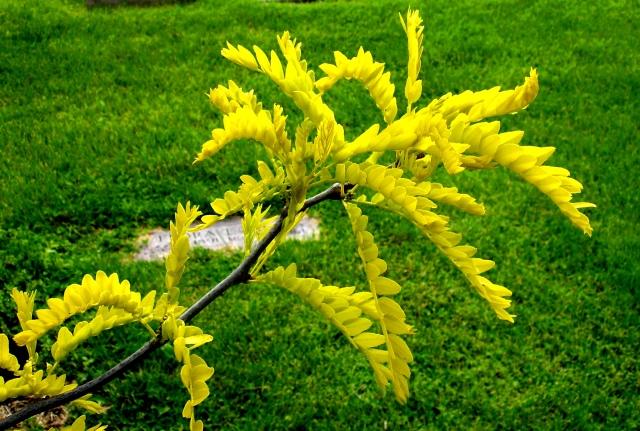sunshinelocust