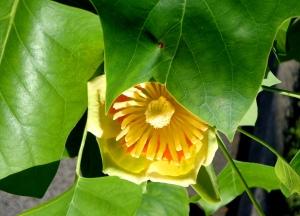 tuliptr051613