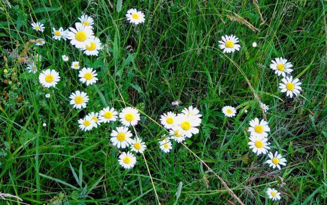daisies62113