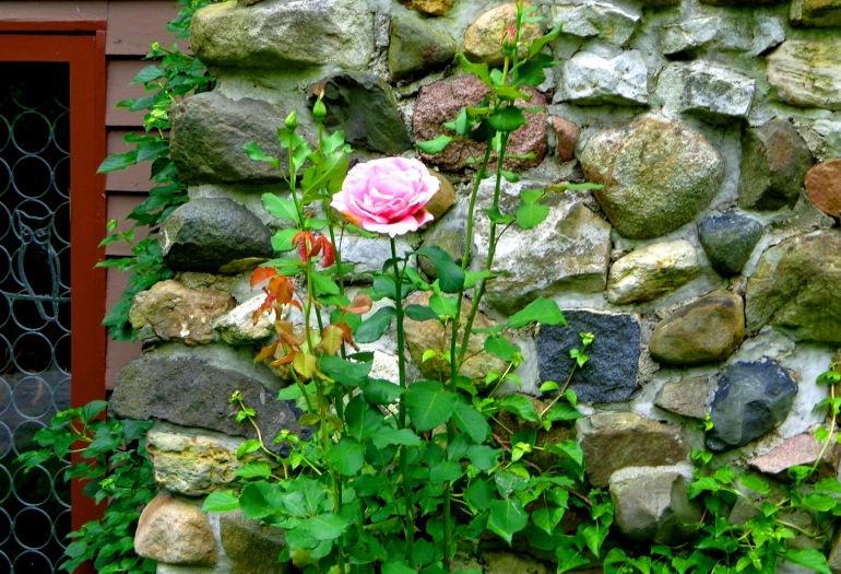 roselong